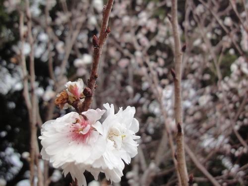 221207 十月桜