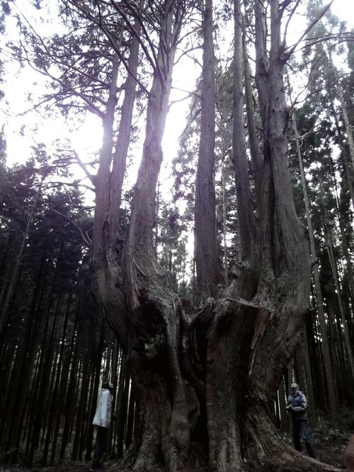 221205 祇園の大ヒノキ6