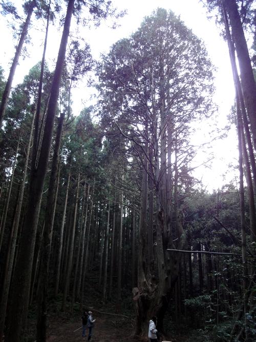 221205 祇園の大ヒノキ5