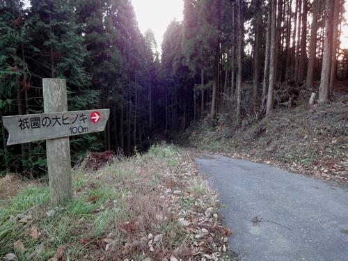221205 祇園の大ヒノキ1
