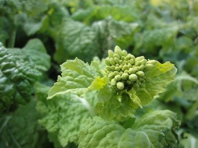 230121 松島菜の花4
