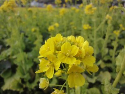 230121 松島菜の花3
