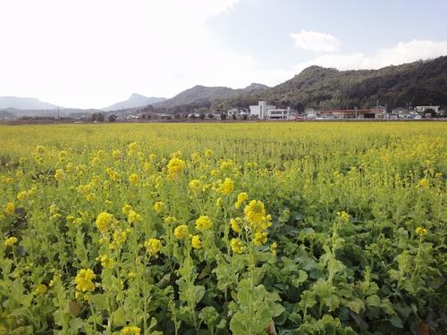 230121 松島菜の花1