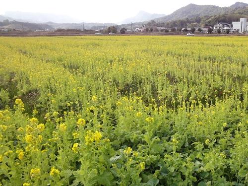 230121 松島菜の花5