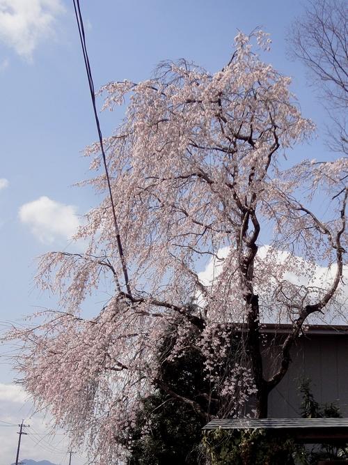 230326 甲佐枝垂れ桜1