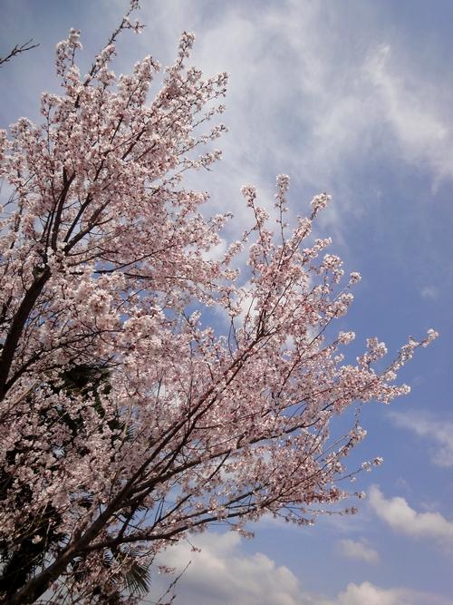 230326 小筵桜1
