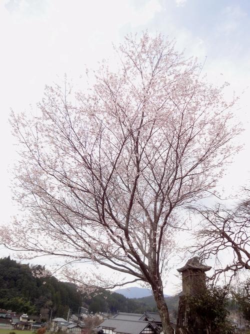 230326 永富桜2