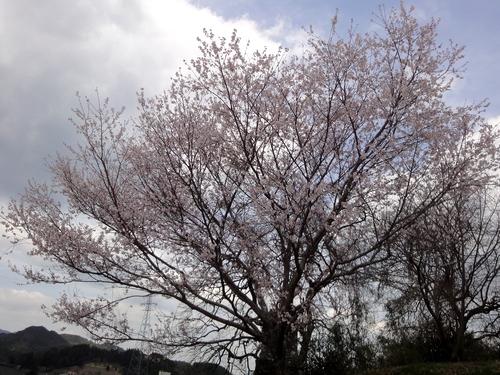 230326 永富桜3