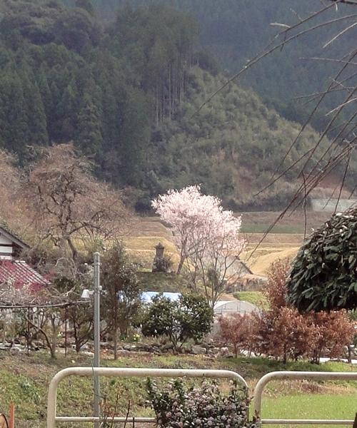 230326 永富桜1