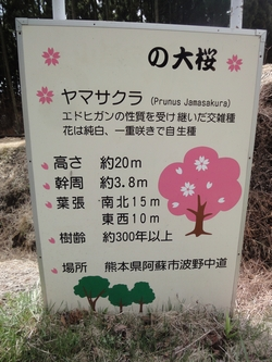 230409 南阿蘇桜巡り5