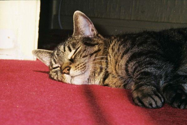 Red Carpet Cat