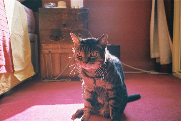 Red Worrier Cat