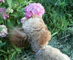 紫陽花にもご挨拶