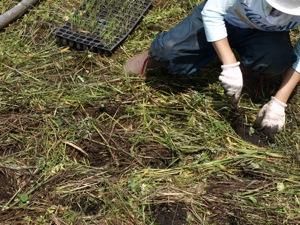 5本当に植える2011田植え