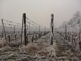 凍ったブドウ畑