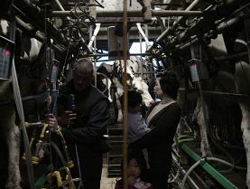 牛の搾乳見学中