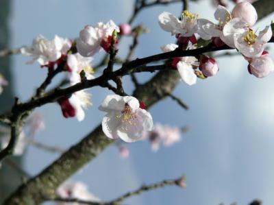杏の花_convert_20120402211626