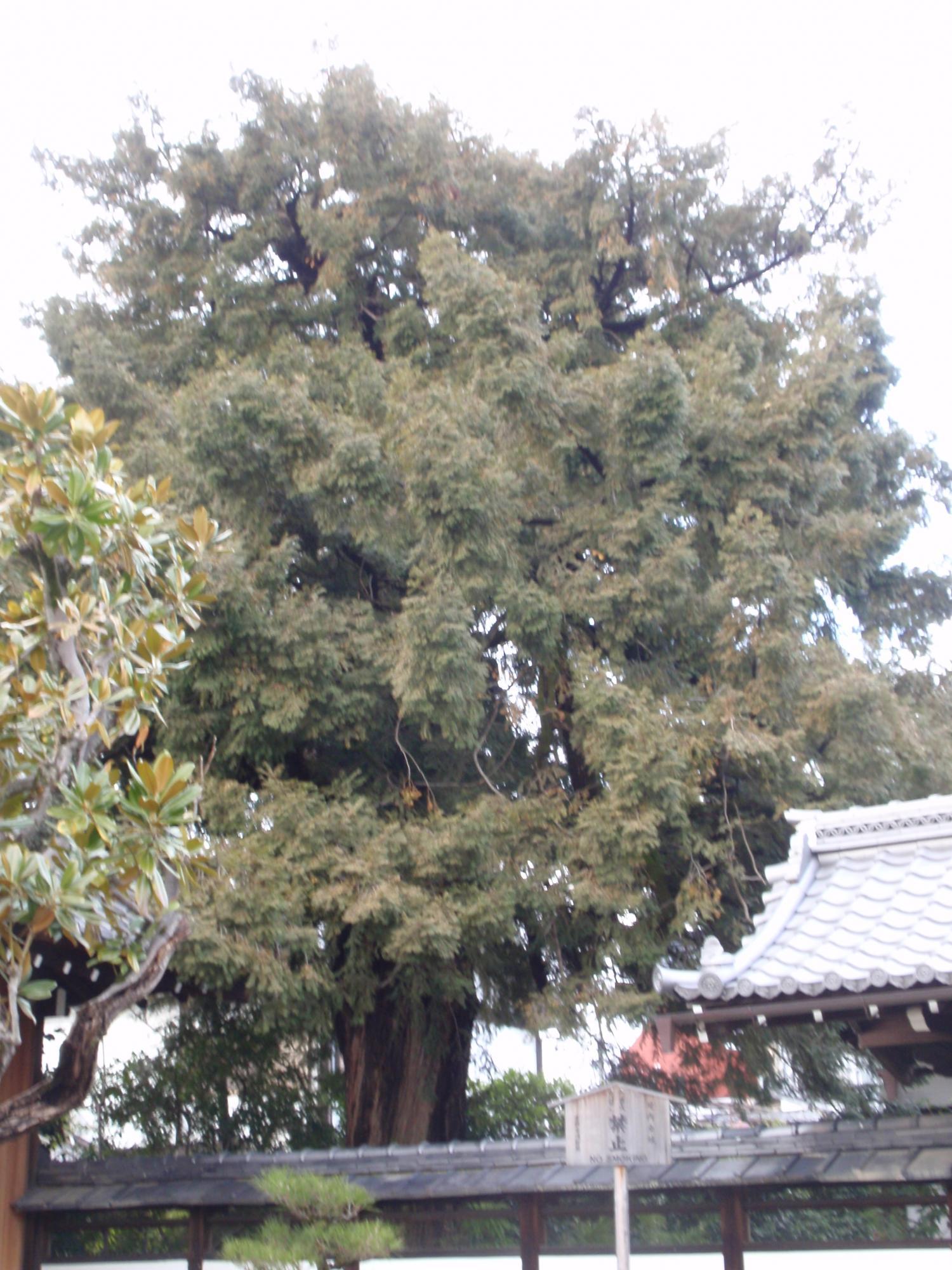天寧寺・カヤ
