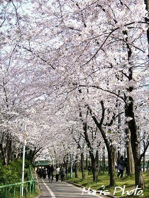 okawa sakura