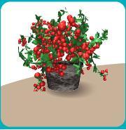 トマト(収穫)