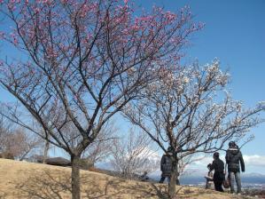 快晴の天気と梅と富士山