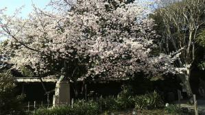 柿田川公園の熱海桜