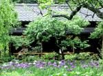 東慶寺の菖蒲を鑑賞しながら抹茶を楽しむ