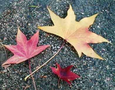 モミジバフウの落ち葉
