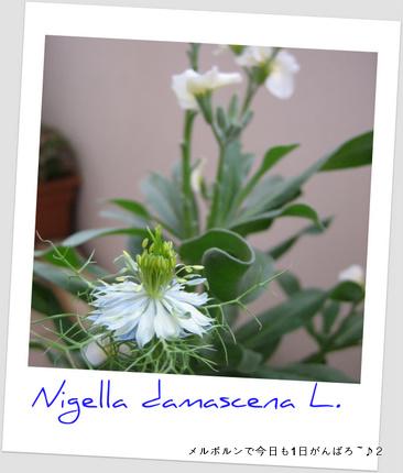 ニゲラ2feb11