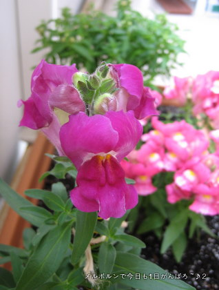 snapdragon31dec.jpg