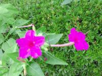 20110712 おしろい花