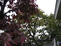 1127実家柿木
