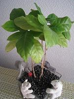 0303コーヒーの木