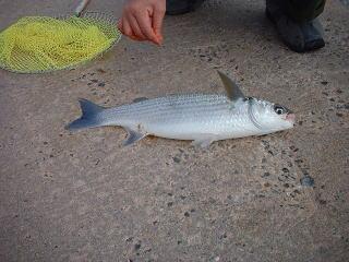 釣れたた魚