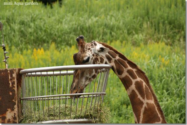 giraffe20091010.jpg