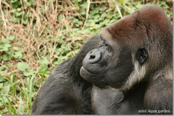 gorilla20091010.jpg