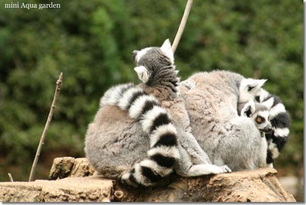 lemur_catta20091010.jpg