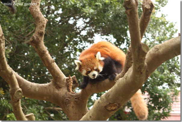 lesser_panda20091010_1.jpg