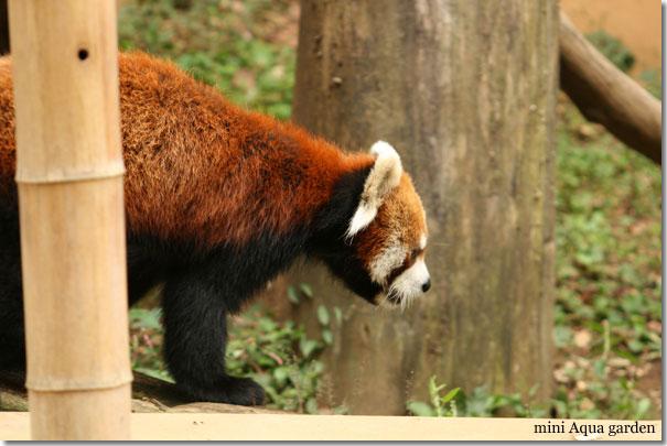 lesser_panda20091010_2.jpg