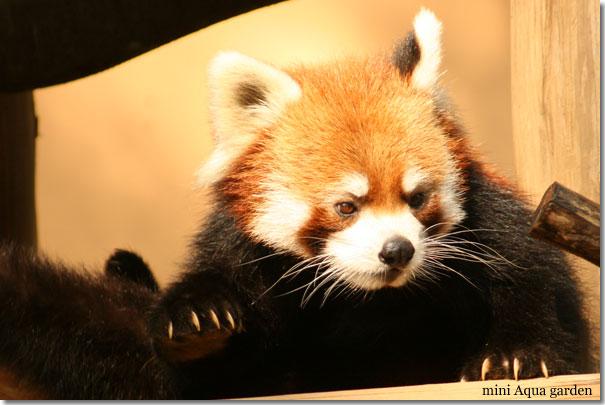lesser_panda20091018_1.jpg