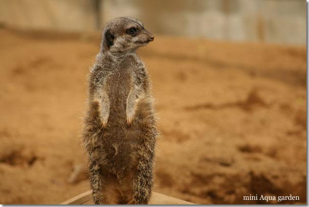 meerkat20091010.jpg