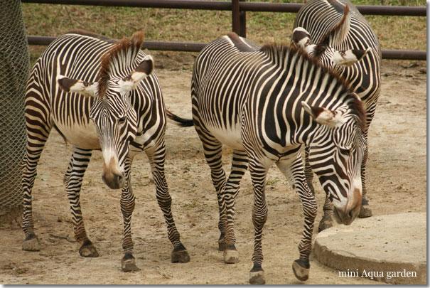 zebra20091010.jpg