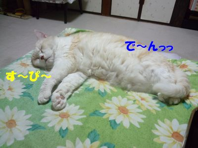 チャチャ寝てる