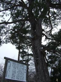 江戸時代に植えられた松・・・ロマンぢゃ
