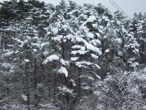 雪が積もる木々