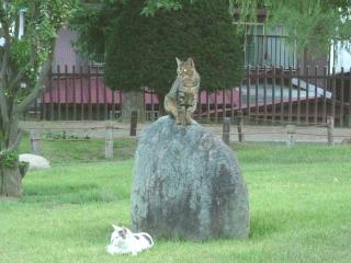 松本の猫さん1