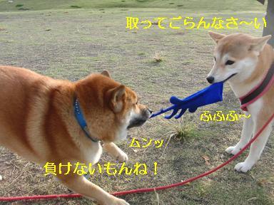 引っ張りっこ~!
