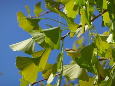 イチョウの葉。