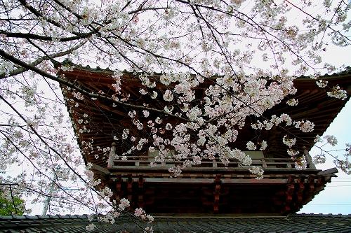 s-瑞林寺 桜