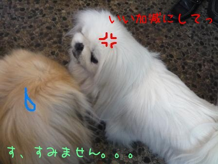 koma_off_amekuma2.jpg